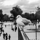 Perched seagull in Jardin des Tuileries, Paris, France by OlivierImages