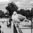 (II) Perched seagull in Jardin des Tuileries, Paris, France by OlivierImages