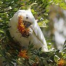 Cockatoo Heaven by Phillip Weyers