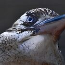 Kookaburra I by Tom Newman