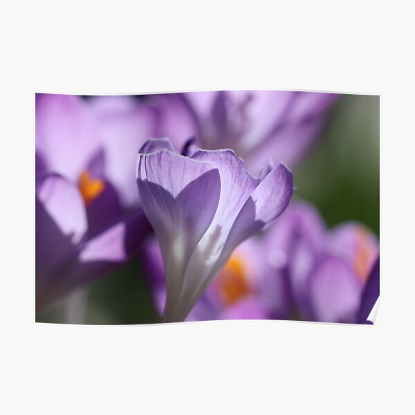 Purple Crocus Imperfections Poster