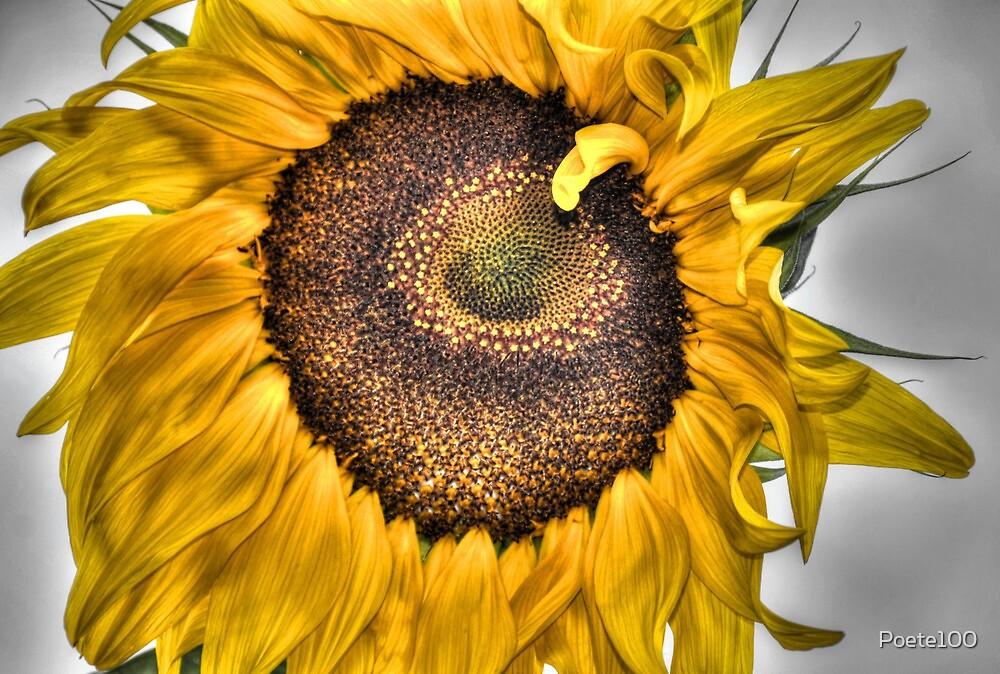 Sunflower Summer's End... by Poete100