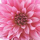 Raspberry petals With Waterdrops by edesigns14
