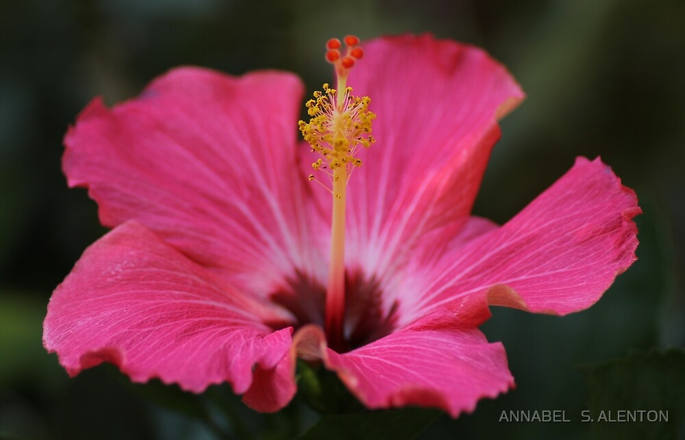 pink hibiscus by ANNABEL   S. ALENTON