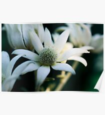 Flannel flowers Poster