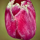 Pink Tulip by Bami
