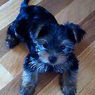 Cute Yorkie Puppy by Wendy Sinclair