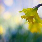 daffodil dreaming by sapaho