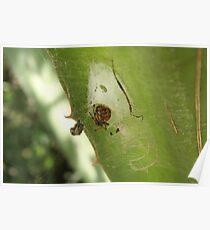 Orb Weaver Spider Poster