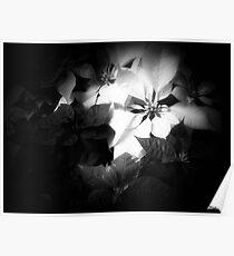 Mixed color Poinsettias 1 Dark Poster