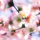 Beautiful White Pink Sakura Cherry Blossoms in Spring by Beverly Claire Kaiya