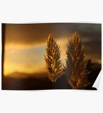 Pampas grass sunset  Poster