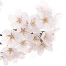 Beautiful White Sakura Cherry Blossoms in Spring by Beverly Claire Kaiya