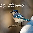 Blue Jay Christmas Card 2 by Michael Cummings