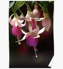 Fuchsias in Purple Poster