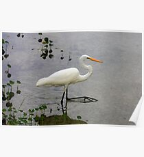 Great Egret, Rainbow River, Dunnellon, Florida Poster