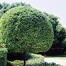 a fine work of topiary by adam pearson