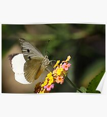 White Butterfly 8121 Poster