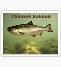 Chinook Salmon Sticker