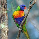 Rainbow Lorikeet. Cedar Creek, Queensland, Australia by Ralph de Zilva