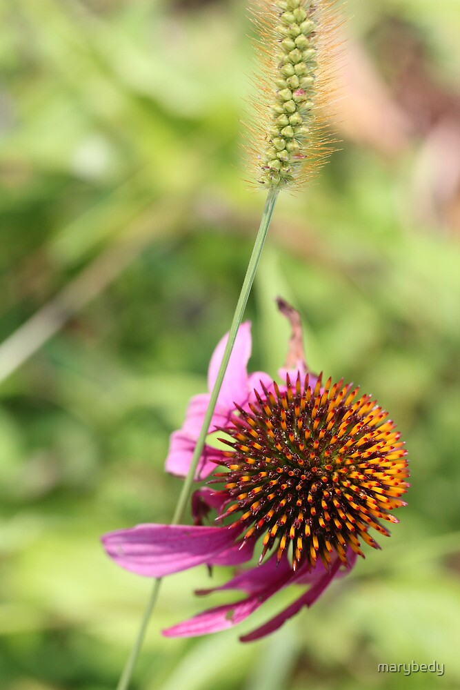Cone Flower 3 by marybedy
