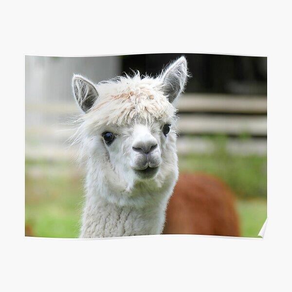 A Soft Kiss Please - Alpaca - NZ Poster