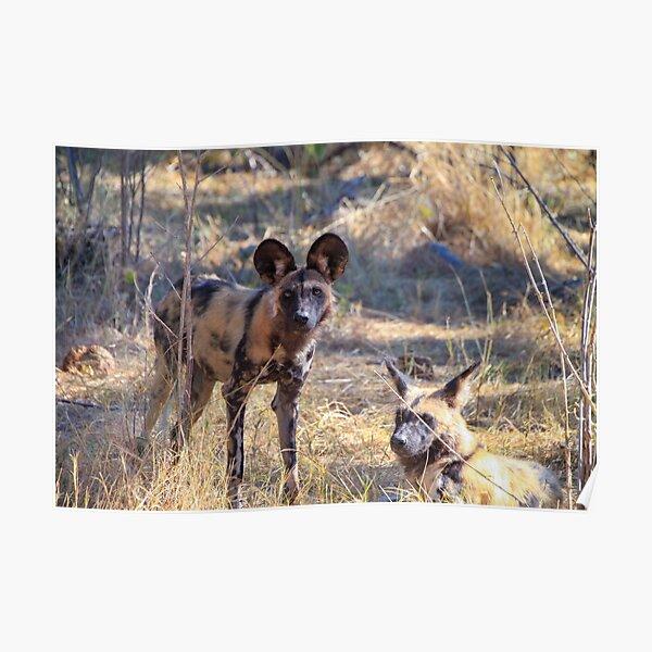 Zwei afrikanische Wildhunde im Moremi Game Reserve, Botswana Poster