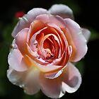 Single Romantic Rose  by Joy Watson