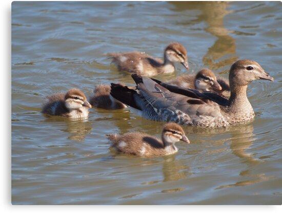 Mum and the kids  -- Australian Wood Ducks at Ponder Bay by shortshooter-Al