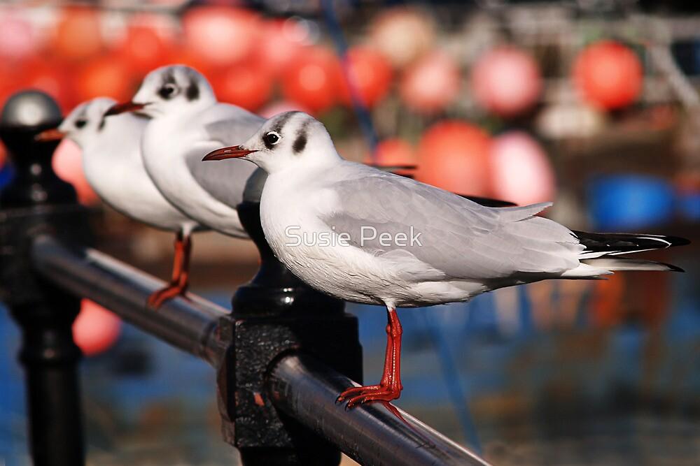 Black-headed Gulls by Susie Peek