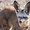 Big\Cute Ears or Winter Wildlife - Members Subject Challenge