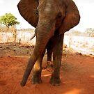 Elephant by Paul Tait