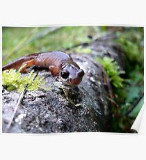 Oregon Ensatina Salamander Poster