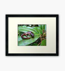 Oregon Ensatina Salamander 2 Framed Print
