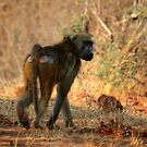 Baboon by Paul Tait
