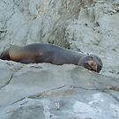 Sunbathing Seal by Jay Armstrong