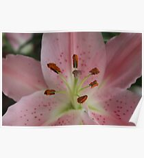 Up Close And Beautiful Pink Lilly Poster