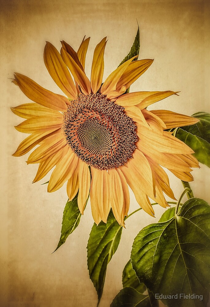 Quot Vintage Sunflower Quot By Edward Fielding Redbubble