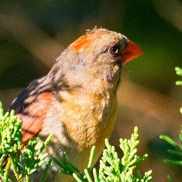 FEMALE CARDINAL.. by buddybetsy
