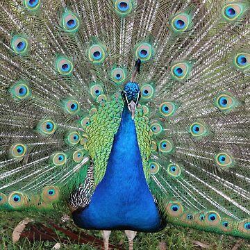 Peacock  by llier4