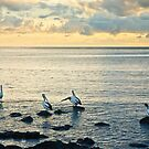 Pelicans at Black Beach - Kiama by Dilshara Hill