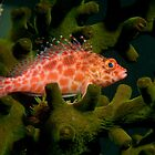 Pixy Hawkfish, Papua New Guinea by Erik Schlogl