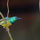 Collared Sunbird by Explorations Africa Dan MacKenzie