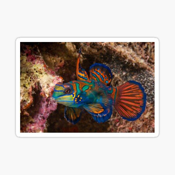 Mandarin Fish, Wakatobi National Park, Indonesia Sticker
