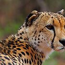 Handsome feline by Explorations Africa Dan MacKenzie