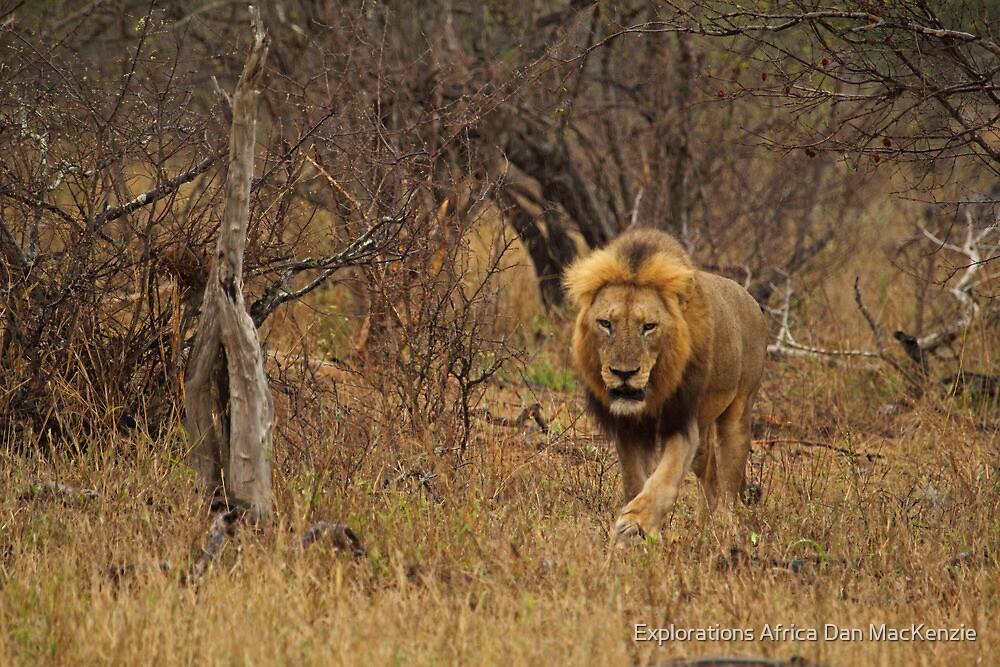 Patrolling his territory by Explorations Africa Dan MacKenzie