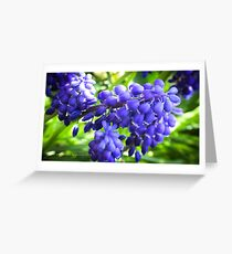 Grape Hyancinth Greeting Card