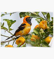 Orange-backed Troupial, Brazil Poster