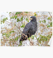 Great Black Hawk, Brazil Poster