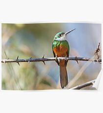 Rufous-tailed Jacamar, Brazil Poster
